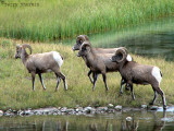 Bighorn Sheep 2a.jpg