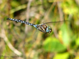 Aeshna palmata - Paddle-tailed Darner in flight 3a.jpg