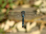 Aeshna palmata - Paddle-tailed Darner in flight 2a.jpg