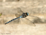 Aeshna palmata - Paddle-tailed Darner in flight 1a.jpg