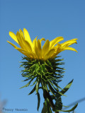 Entire-leaved Gumweed - Grindelia integrifolia.JPG