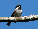 Chestnut-backed Chickadee 1a.jpg