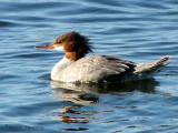 Common Merganser female 5b.jpg