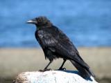 Northwestern Crow 12.JPG