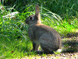Eastern Cottontail A3a.jpg