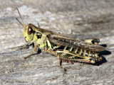 Grasshoppers and Crickets of B.C.