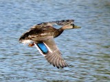 Mallard in flight 1a.jpg