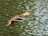 Mallard hen in flight 1a.jpg
