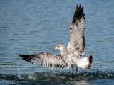 Ring-billed Gull juvenile in flight 1a.jpg