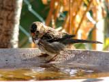 Harris's Sparrow fall plumage 2a copy.jpg