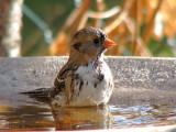 Harris's Sparrow fall plumage 12a.jpg