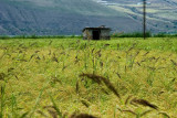 Shalizar (Rice Paddy)