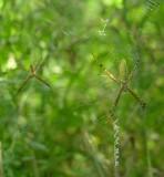 Argiope trifasciata spiders - immature
