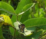 tagged monarch in garden