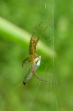 Argiope trifasciata - immature with leafhopper prey