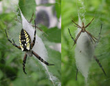Argiope aurantia - male and female on web