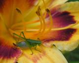 Katydid - immature on daylily