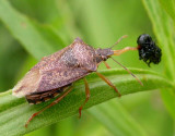Stinkbug with Trirhabda larva prey - view 1