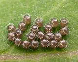 Silver eggs - predatory stinkbug eggs - view 1