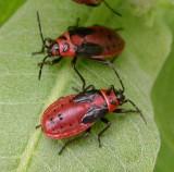 Lygaeus kalmii - Small Milkweed Bug - nymphs