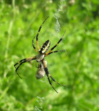 Argiope aurantia with prey
