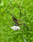 Argiope aurantia wrapping prey