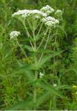 Boneset - Eupatorium perfoliatum
