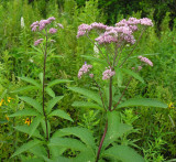 Spotted Joe-pye Weed - Eupatorium maculatum