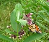 Monarch on Common Milkweed - detail