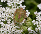 Stinkbug nymph - green