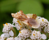 Phymata - ambush bug - female