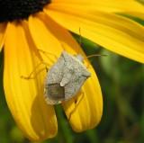 stinkbug ( unidentified)