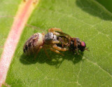 Pelegrina proterva (?) - female - with prey  - view 1