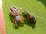 Pelegrina proterva (?) - female - with prey  - view 2