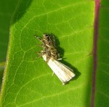 Jumping spider with moth - view 1