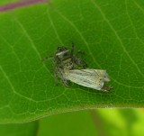 Jumping spider with moth - view 3