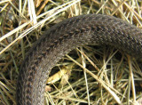 Storeria occipitomaculata occipitomaculata - Northern Red-bellied Snake - scales
