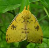 Automeris io - 7746 - Io moth - wings closed