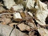 Wolf spider with egg case - view 4
