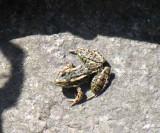 Rana pipiens - Leopard Frog
