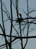 Ardea herodias- Great Blue Heron on nest