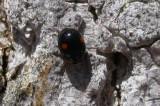 Adalia bipunctata - Twice-stabbed Lady Beetle