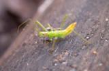 Zelus species of Assassin bug