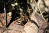 Wolf Spider # 2- not yet ID'd