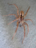 Wolf Spider #3 - not yet ID'd - view 2