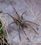 Wolf Spider #3 - not yet ID'd - view 3