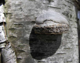 Fomes fomentarius - Tinder Polypore on birch tree