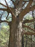 Quercus macrocarpa - Bur Oak