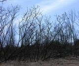 Rhus typhina - Staghorn Sumac