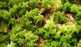 Sphaghum Moss